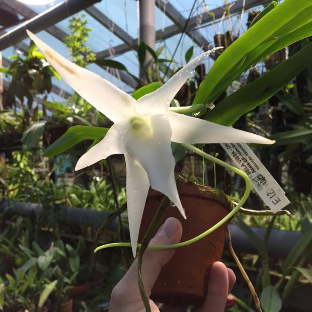 Редкая орхидея Ангрекум полуторафутовый зацвела в «Аптекарском огороде»