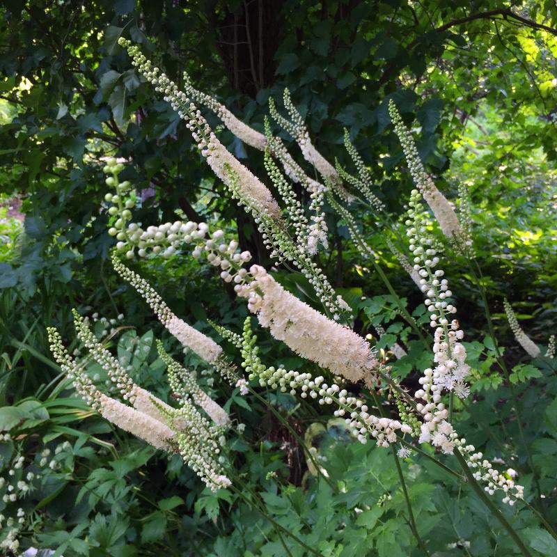 Клопогон, или Адамово ребро, цветёт в «Аптекарском огороде»