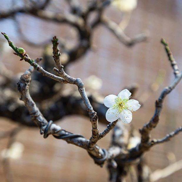 Редкая 100-летняя японская слива зацвела на выставке бонсай в «Аптекарском огороде»
