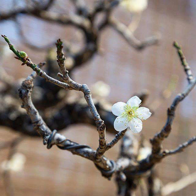 Редчайшая 100-летняя японская слива зацвела на выставке бонсай в «Аптекарском огороде»