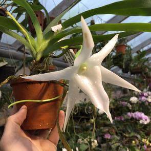 Редкая орхидея Звезда Дарвина расцвела в «Аптекарском огороде»