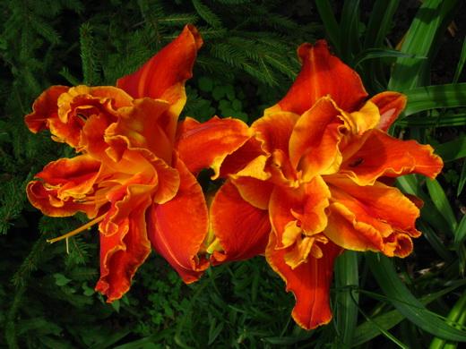 5–6 августа — выставка «Поздние лилейники» с лотереей и раздачей цветов