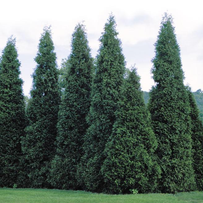 «Вечнозелёный горизонт» из более чем 100 туй подарит «Аптекарскому огороду» компания Bonduelle 13 июля