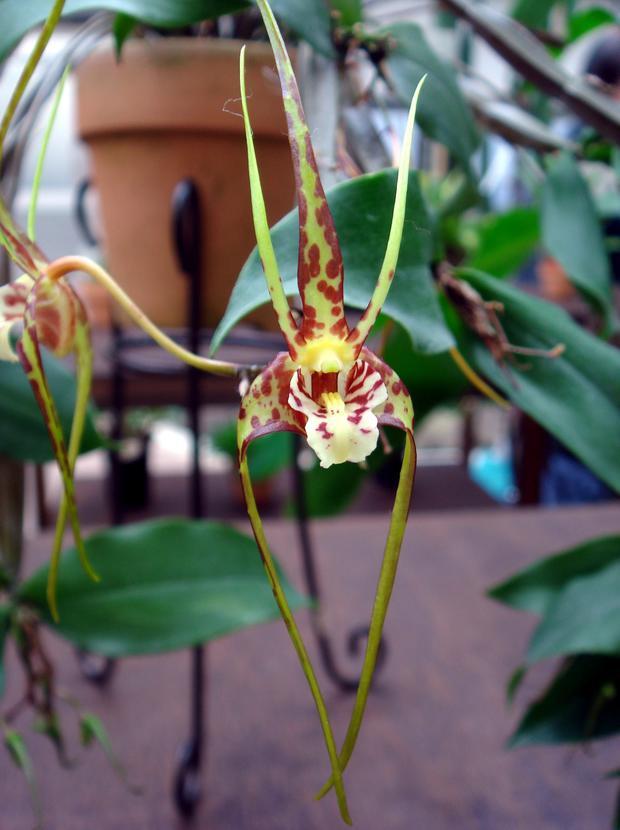 В «Аптекарском огороде» появились орхидея-паук и волосистая орхидея