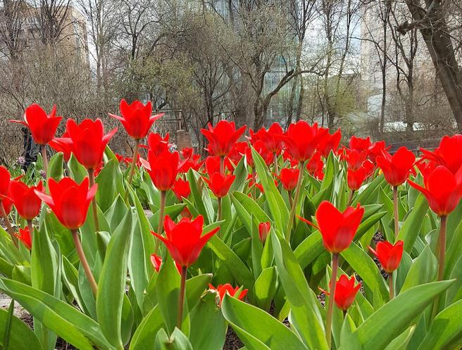 Первые тюльпаны в Москве расцвели в «Аптекарском огороде»