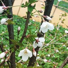 Сакура расцвела в «Аптекарском огороде»