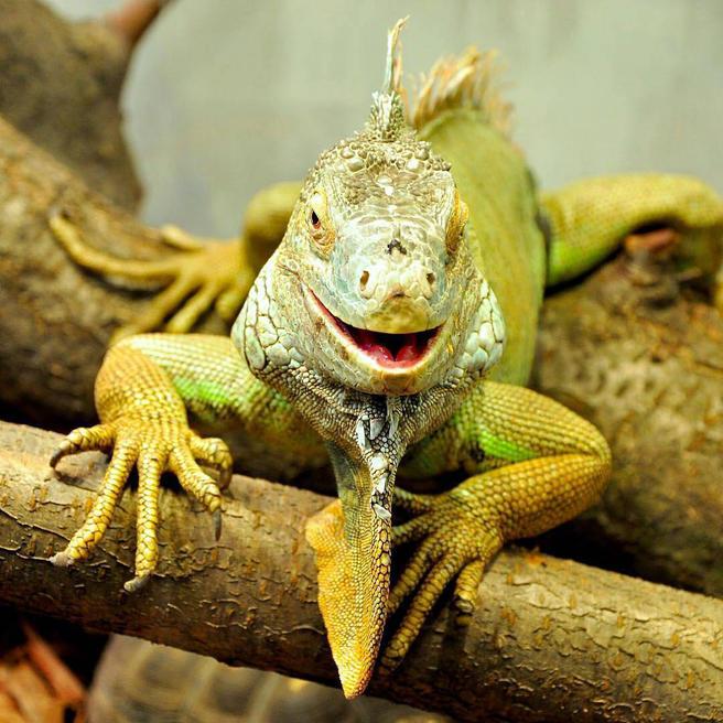 Игуану Ириску и черепаху Уголька в «Аптекарском огороде» будут кормить в 11.00 и 17.00 ежедневно