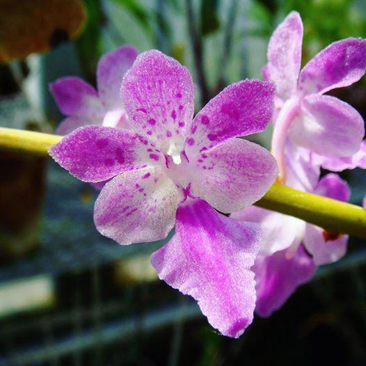 Орхидея «Хвост кота» расцвела в «Аптекарском огороде»