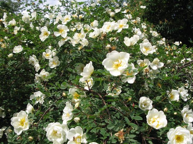 Роза колючейшая расцвела в «Аптекарском огороде»