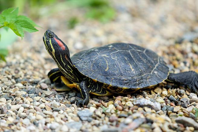 13 апреля черепахи «Аптекарского огорода» торжественно переедут под открытое небо