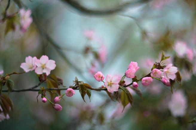 Уикенд сакуры пройдёт с 30 апреля по 3 мая в «Аптекарском огороде»