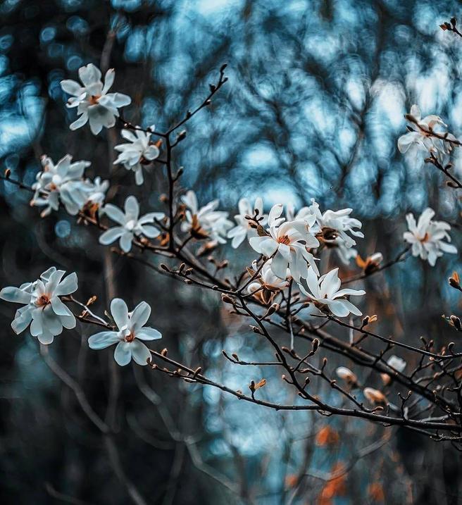 С 6 по 9 мая — экскурсии «От Петра I до наших дней» по сакуре, магнолиям, тропикам в «Аптекарском огороде»
