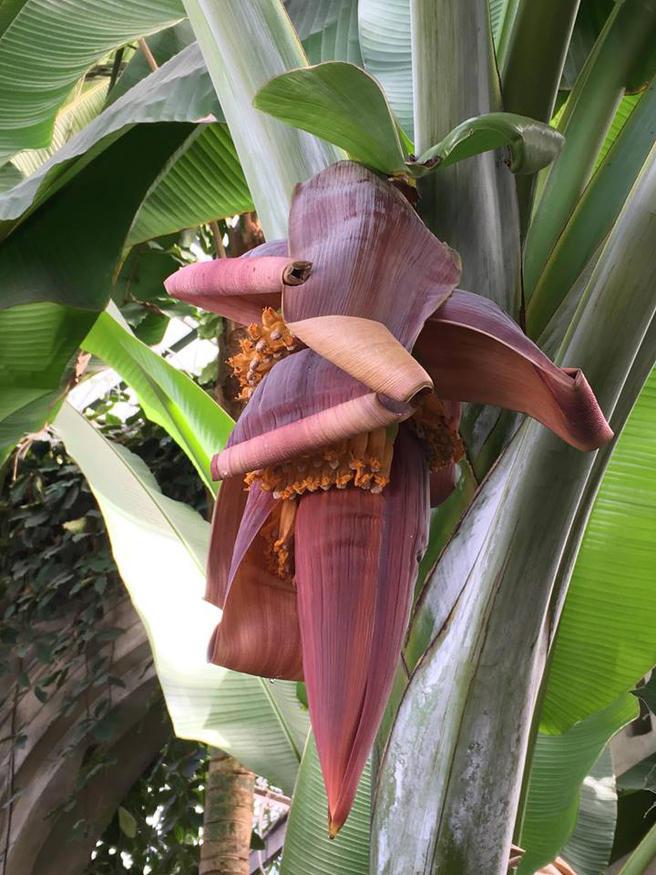 Самый высокий Райский банан расцвёл в «Аптекарском огороде» впервые за долгое время