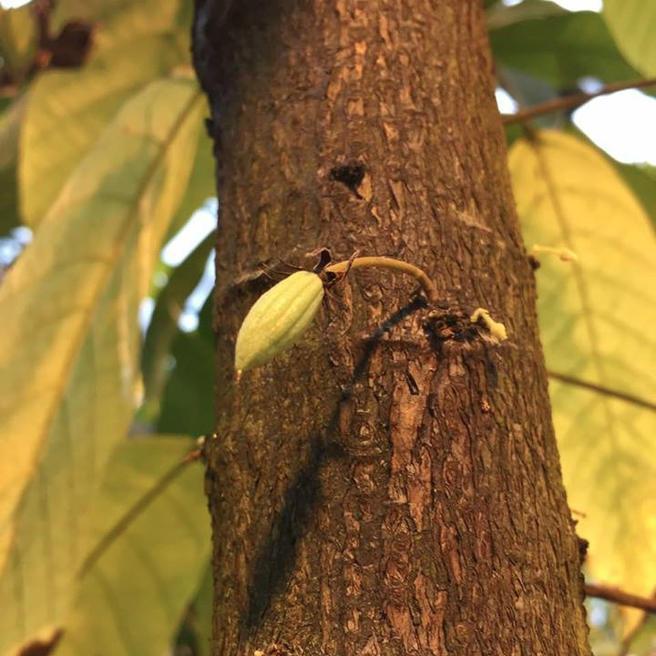 Какао заплодоносило в «Аптекарском огороде»