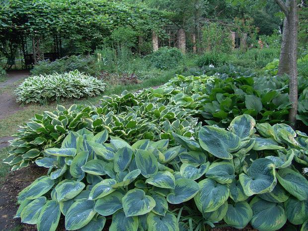 22 ноября в «Аптекарском огороде» расскажут о самом северном ботаническом саде и уникальных сортах хост