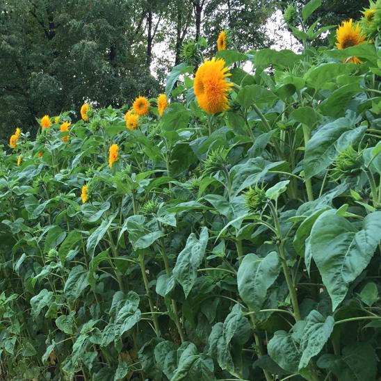 Гигантские подсолнухи высотой более 2,5 метров расцвели в «Аптекарском огороде»