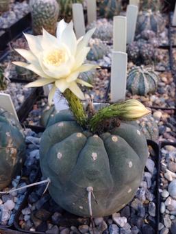 Редкий кактус Матукана расцвёл в «Аптекарском огороде»