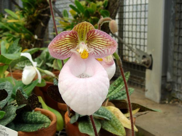 Редкую орхидею Венерин башмачок представят в «Аптекарском огороде» 5 января