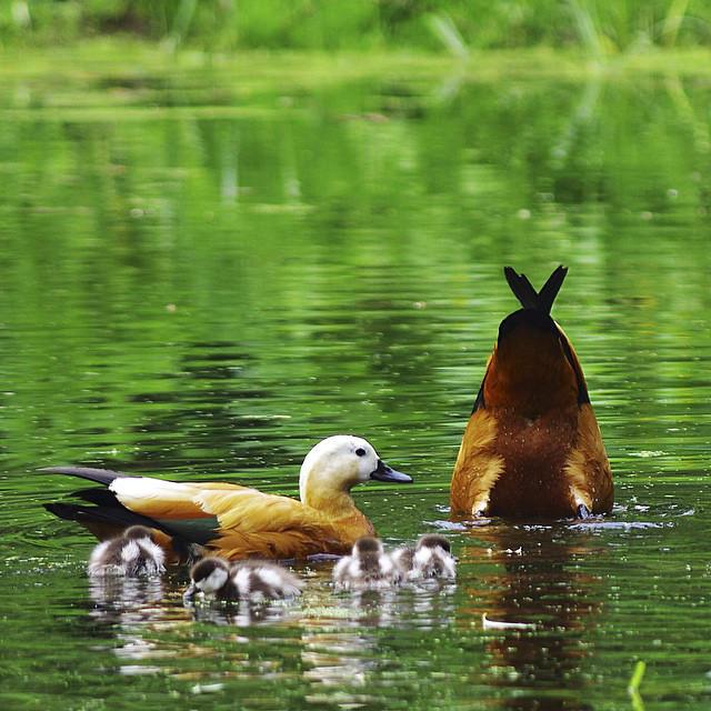 Первые птенцы красных уток поселились в «Аптекарском огороде»