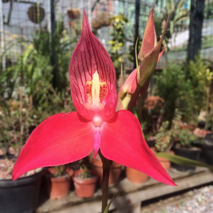 Диза одноцветковая (Disa uniflora)