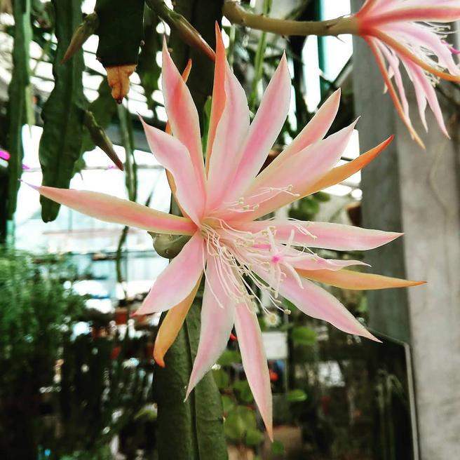 Кактус-орхидея «Королева Татьяна» расцвёл в «Аптекарском огороде»