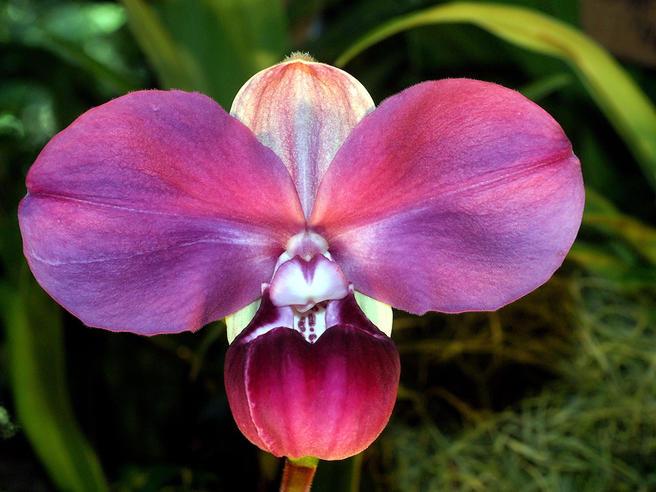 Впервые в России в «Аптекарском огороде» представят крайне редкую орхидею Фрагмипедиум Ковача 24 декабря