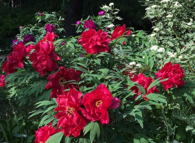 28 и 29 мая — закрытие XVI Весеннего фестиваля цветов в «Аптекарском огороде»