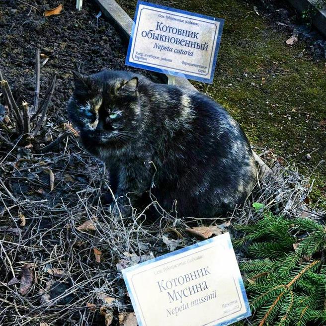 Из-за аномально тёплого марта коты «Аптекарского огорода» устремились к грядке с валерианой и котовником