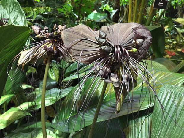 Цветок Дьявола наводит ужас на посетителей «Аптекарского огорода»