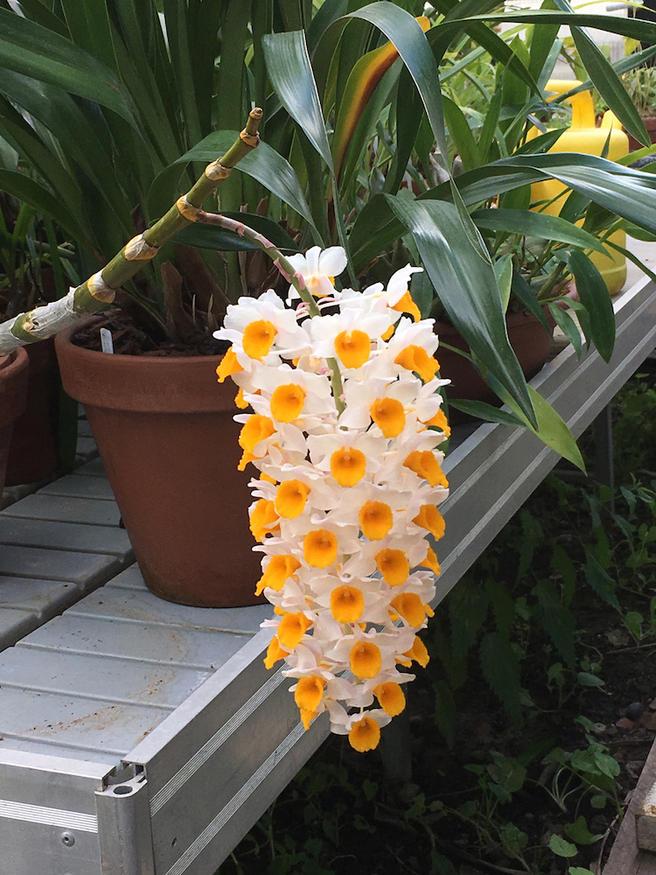 Редкая букетоцветная орхидея расцвела в «Аптекарском огороде»