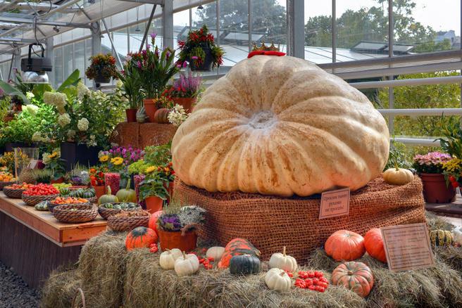 16 октября — торжественная церемония вскрытия и раздачи самой большой тыквы в России в «Аптекарском огороде»