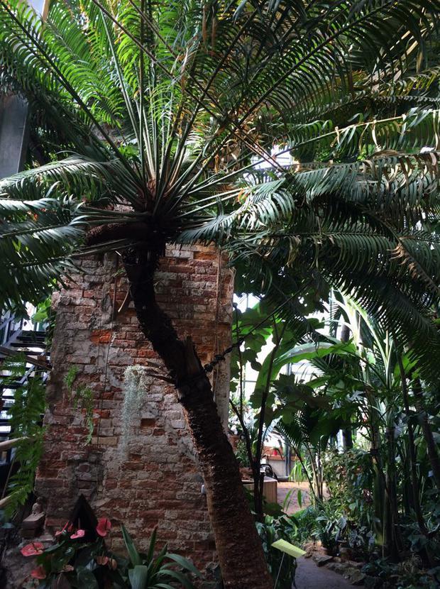 Саговник из эры динозавров стал одним из главных хитов фестиваля «Тропическая зима» в «Аптекарском огороде»