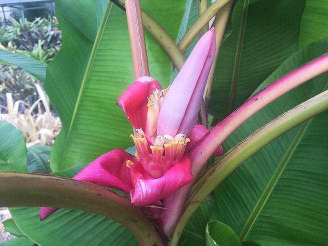 Розовый банан расцвёл на свежем воздухе в «Аптекарском огороде»