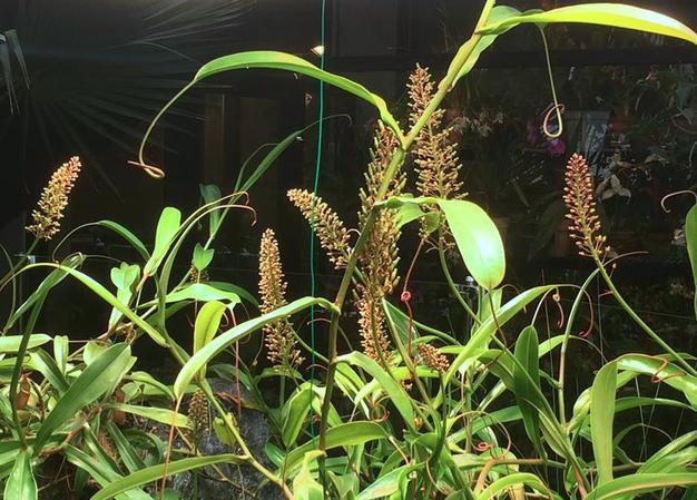 Редкая орхидея Акампе расцвела в «Аптекарском огороде» впервые за 15 лет