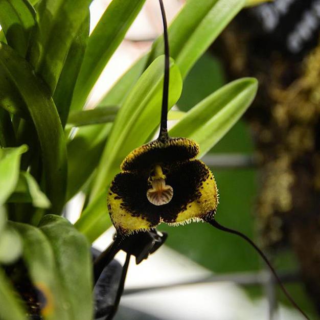 Чёрная орхидея вновь расцвела в «Аптекарском огороде»