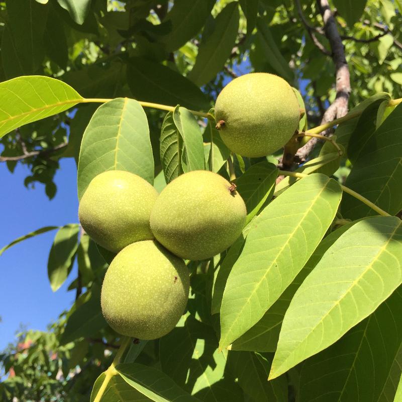 Урожай грецких орехов зреет в «Аптекарском огороде»