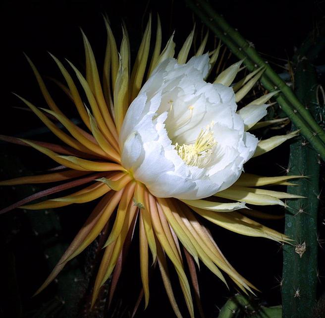 Самая крупная и редкая Царица ночи расцветёт в «Аптекарском огороде» вечером 25 мая
