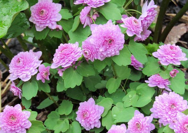 Выставка «Примулы и цветы мая» пройдёт в «Аптекарском огороде» 19 и 20 мая