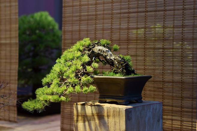 Крупнейшая в России выставка японских бонсай пройдёт с 21 октября по 28 января 2017/18 в «Аптекарском огороде»