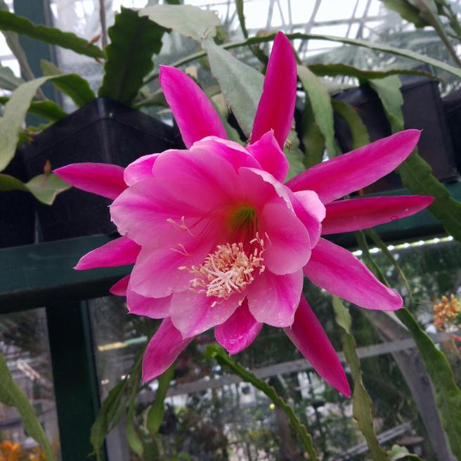 Кактус-орхидея «Иван Грозный» расцвёл в «Аптекарском огороде»