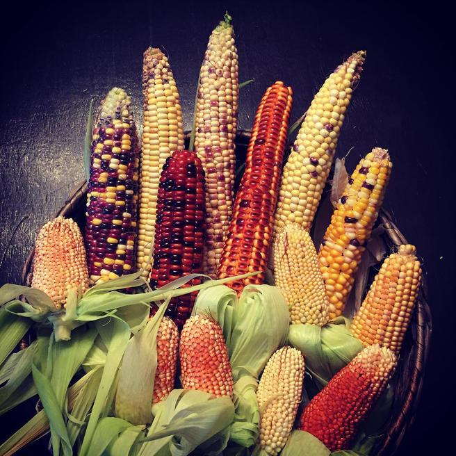 Урожай многоцветной кукурузы созрел в «Аптекарском огороде»
