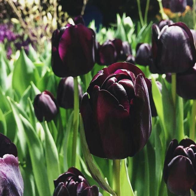 Самые чёрные в мире тюльпаны расцвели в «Аптекарском огороде»