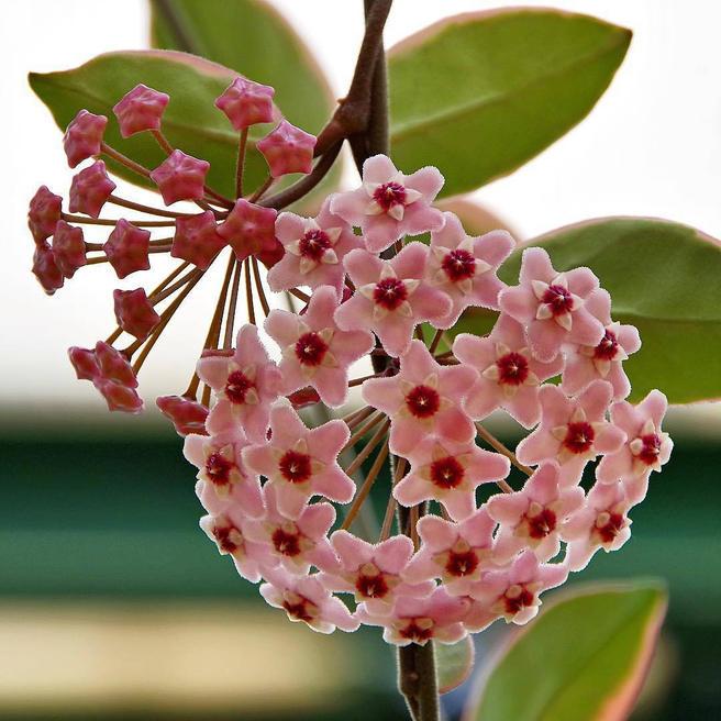 цветок хоя в картинках цветовая