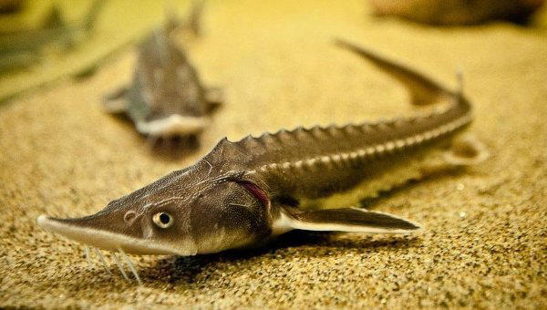 Всех осетровых рыб украли ночью из «Аптекарского огорода»