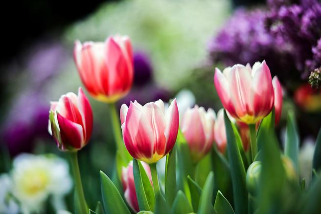 20 марта в «Аптекарском огороде» будут дарить букеты тюльпанов