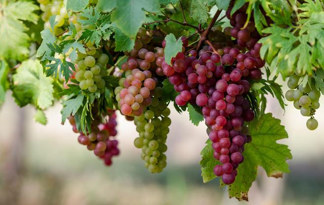 Выставка винограда из Подмосковья пройдет в «Аптекарском огороде» 23 и 24 сентября
