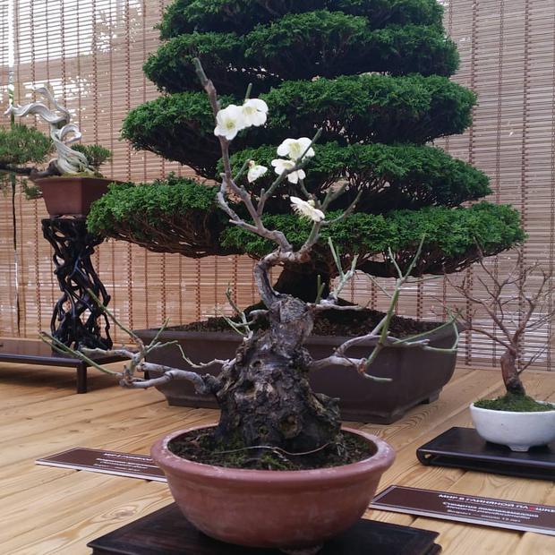 12-летняя японская слива зацвела на выставке бонсай в «Аптекарском огороде»