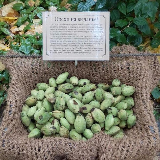 Орехи раздают в «Аптекарском огороде»