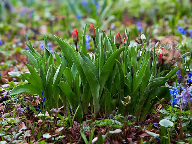 Первые тюльпаны расцвели в «Аптекарском огороде» 8 апреля