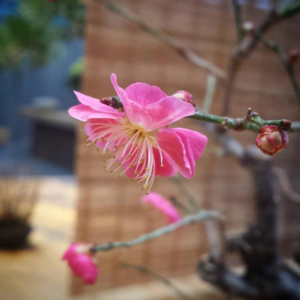 Японская слива зацвела на выставке бонсай в «Аптекарском огороде»